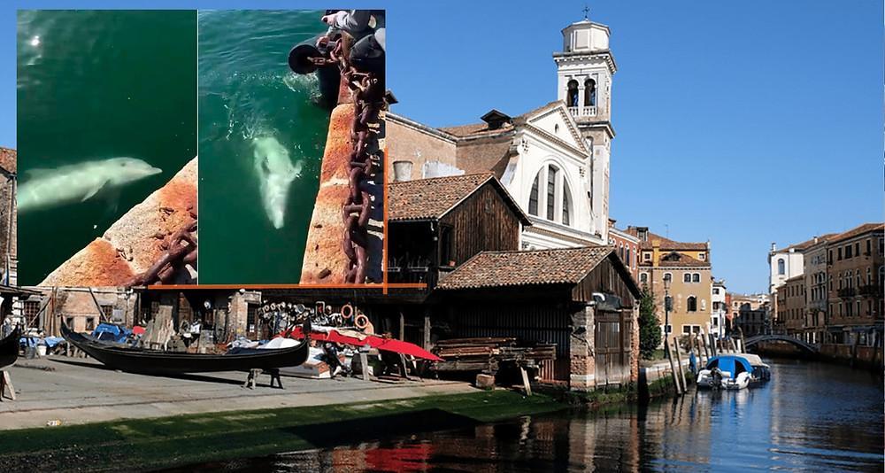 #EfectoCoronaVirus: Aparecen delfines en puerto italiano (+Video)
