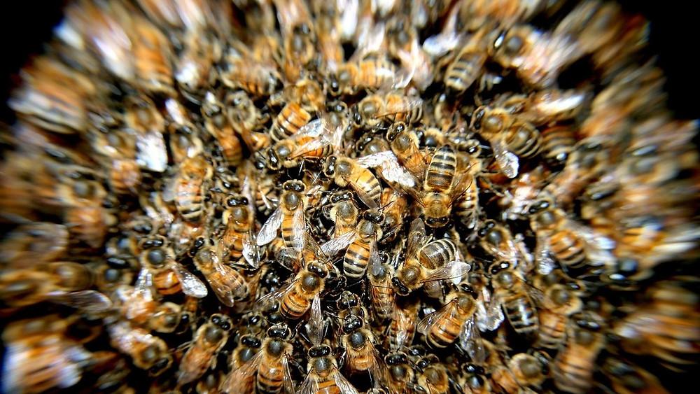 Científicos descubren una abeja mitad hembra y mitad macho (+Fotos)
