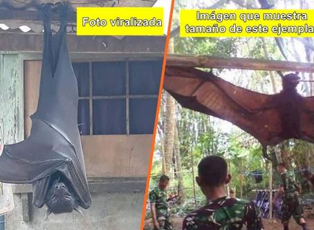 Viralizan imagen de un murciélago del tamaño de una persona