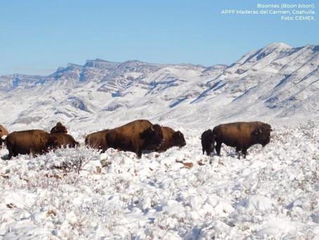Magia en México; tras 100 años de ausencia, se establecen bisontes en Coahuila