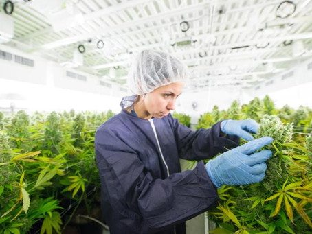 Ex-presidente da Bayer cria startup de cannabis no Brasil