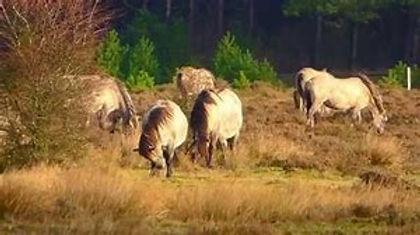Pferde heide1.jpg