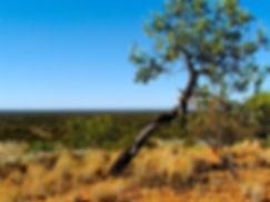 Wild Sandalwood tree in Western Australia