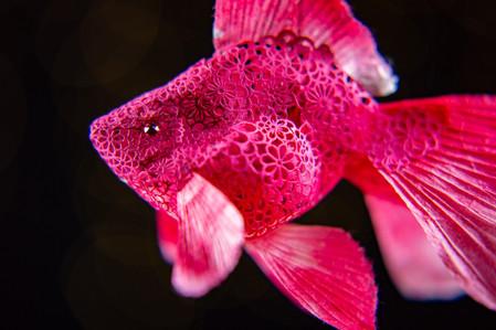 """金魚""""ルビー"""""""