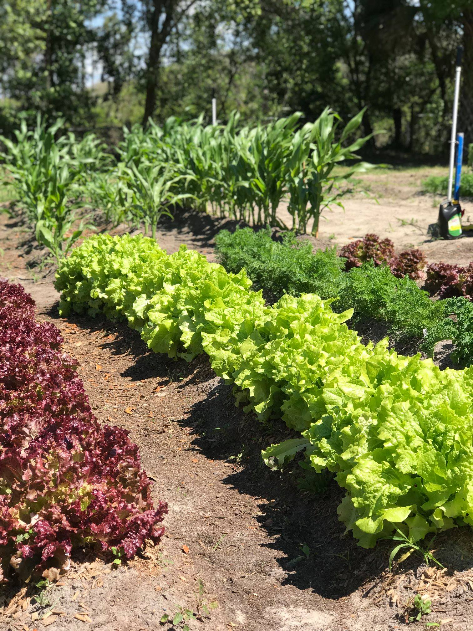 Lettuce Rows in the Garden