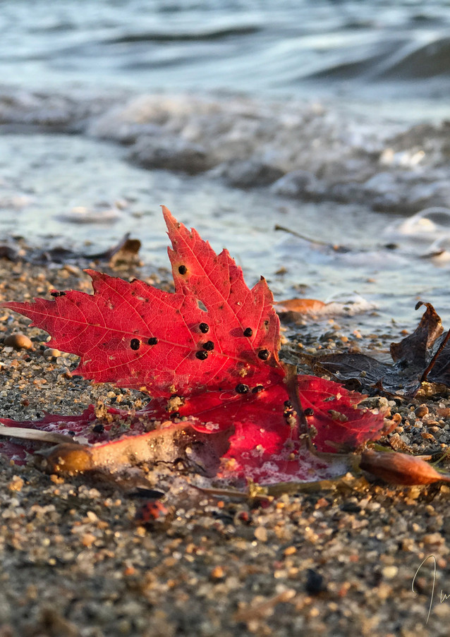 Red Fall Leaf by Detroit Lake Signed.jpg