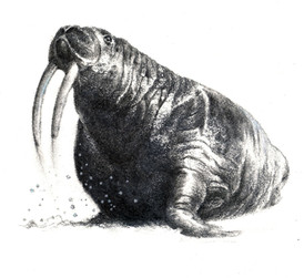 """""""I am the Walrus"""""""