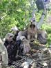 Monkeys Love Hawks