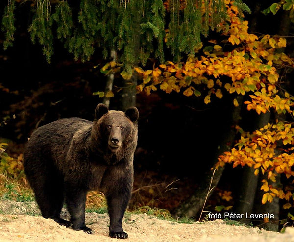 romania bear 01.jpg
