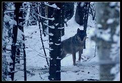 Romania wolf 01.jpg