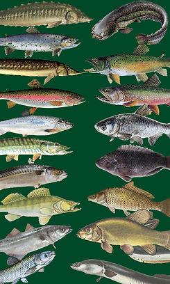 Ořezané ryby.jpg