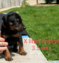 Orange 3.5 weeks