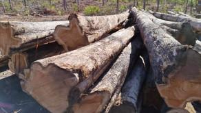 Teak logs grade A premium