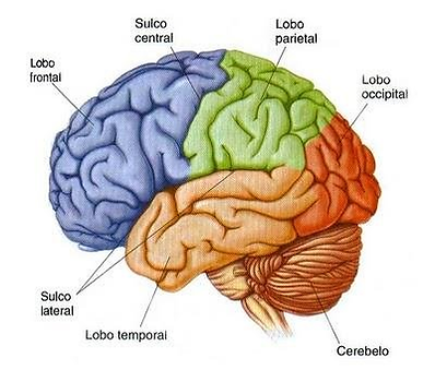 Figura-2-Lobos-do-cerebro-humano.png