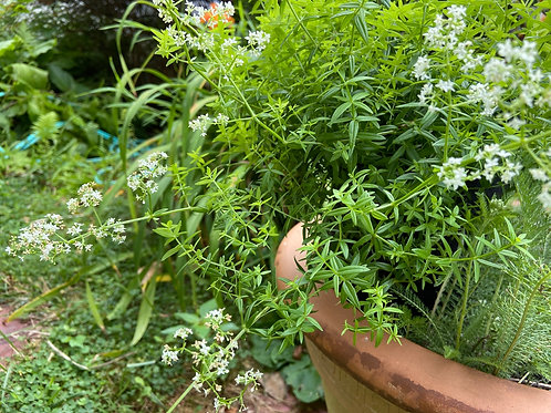 Northern Bedstraw