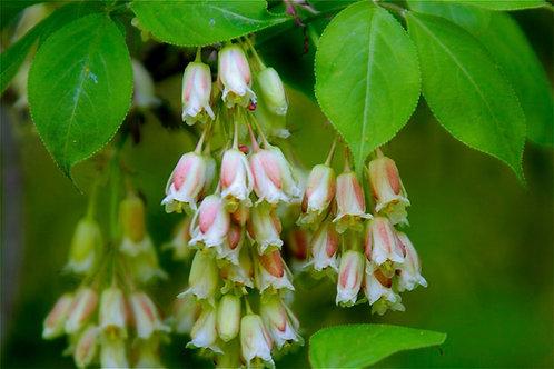 Bladdernut, shrub or small tree
