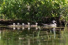 matt--momma duck with babies.jpg