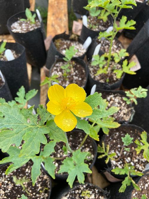 Wood Gold Poppy