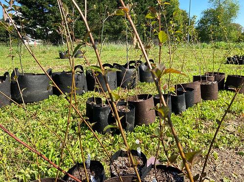 River Birch 'Dura Heat' single stem