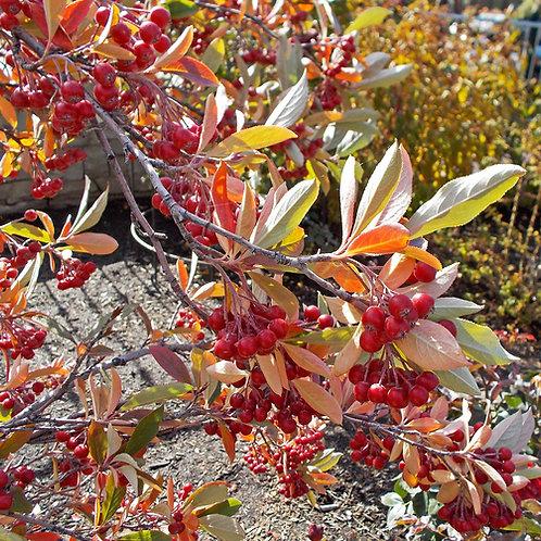 Red Chokeberry 'Brilliantissima'