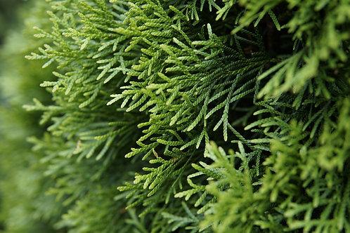 Arborvitae/Eastern white cedar