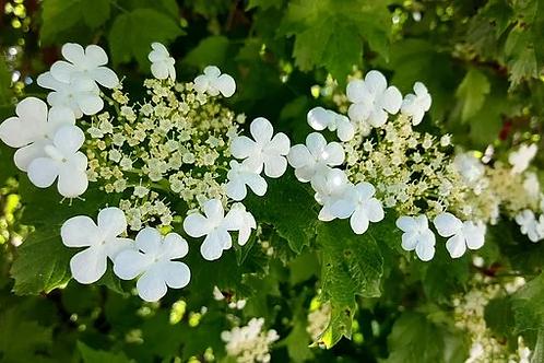 Highbush Cranberry (shrub)
