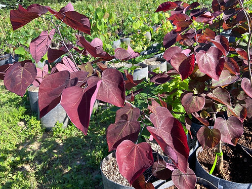 Redbud 'Forest Pansy'