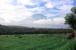 The rice fields of Indonesia