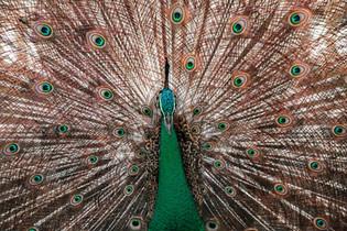 Sri Lankan blue peacock