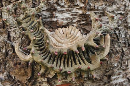 Ascydium singulata, 2010