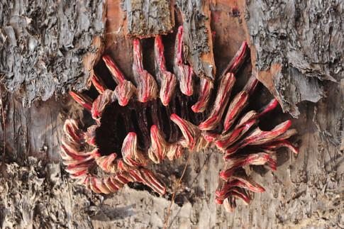 Mimeticus arboreum (da série), 2010