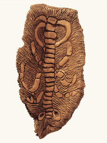 Crossapteris fossilium, 2007