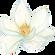 kisspng-flowering-plant-magnoliaceae-still-life-photograph-magnolia-5abe9e4cd89434.2129292