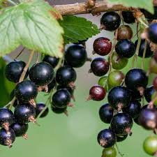 Black Currant Infused Balsamic