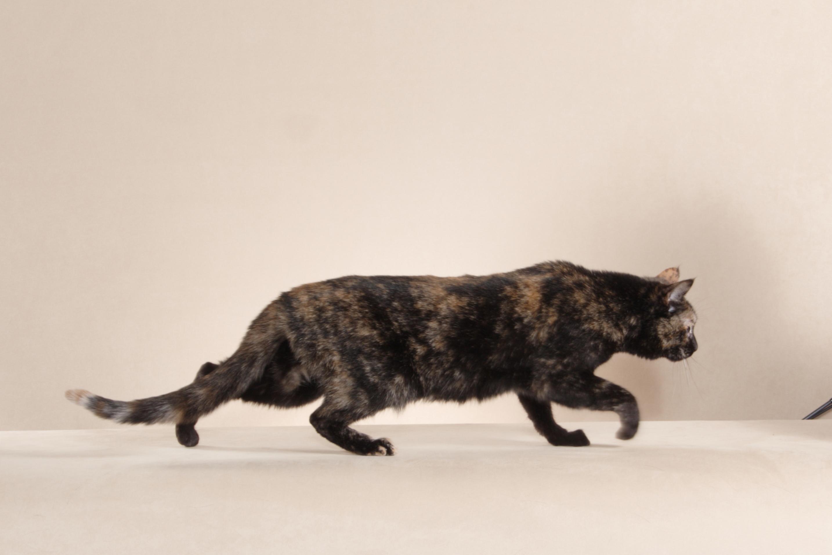 Abyssinian Cat Edmonton