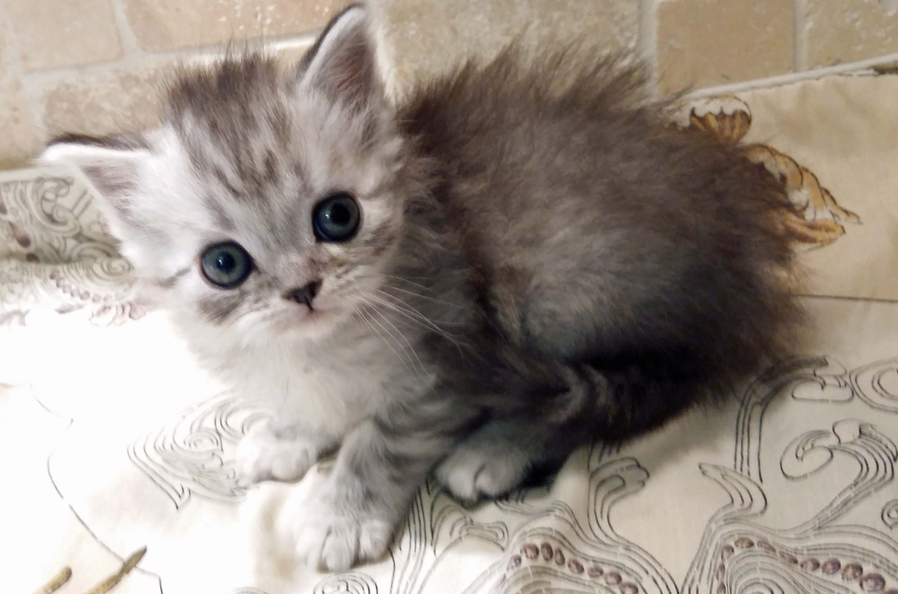 Scottish Fold Kittens   splendid-cats