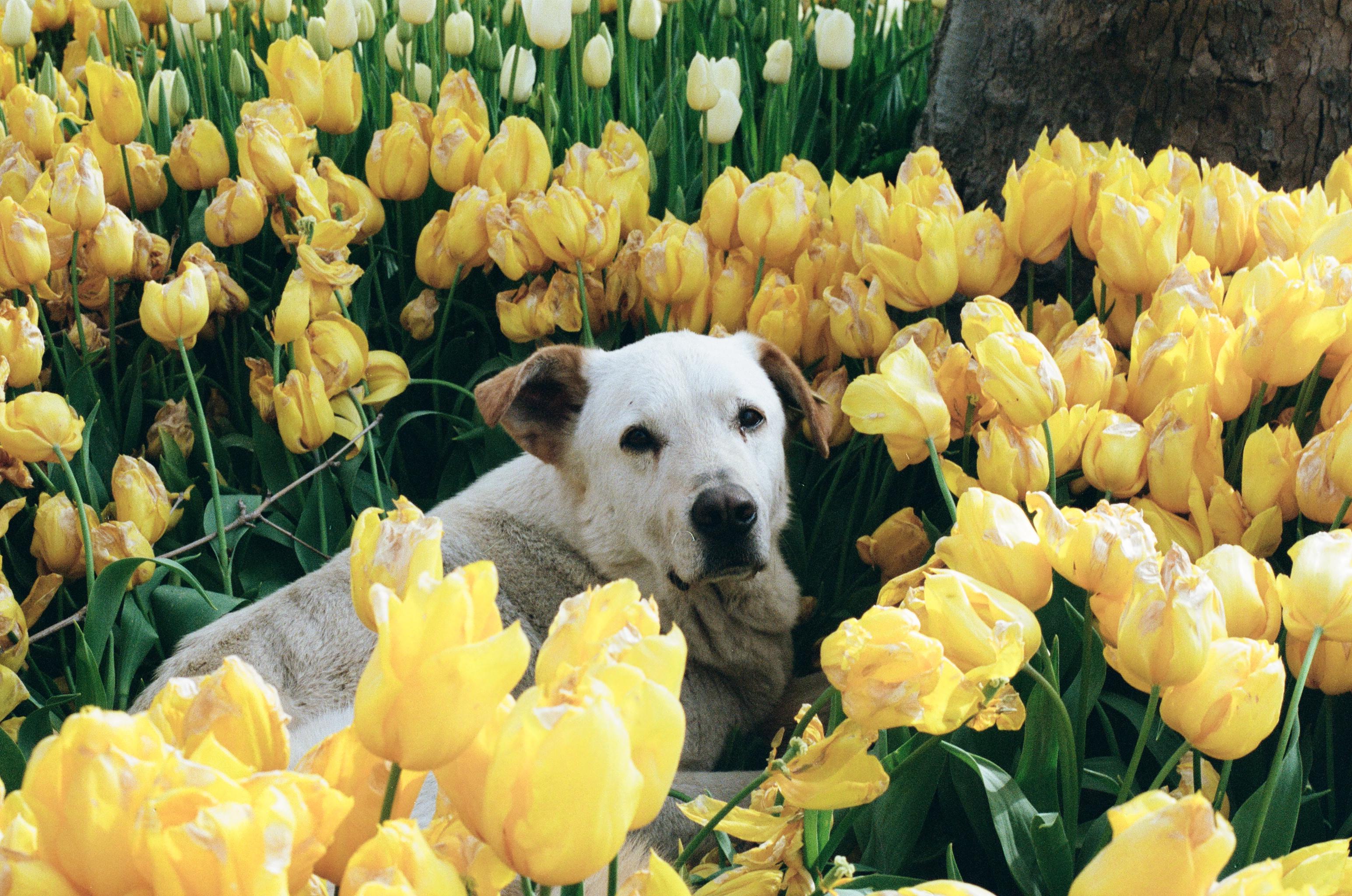 Tulip Dog