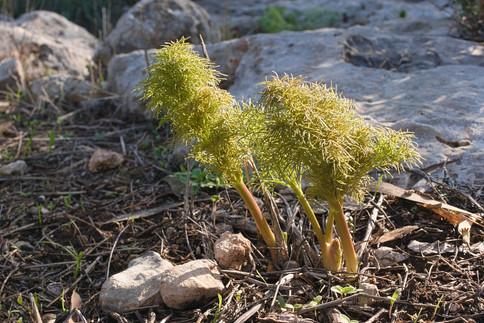 wild fennel - first shoots
