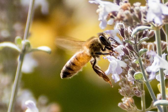 honey bee on savory bush