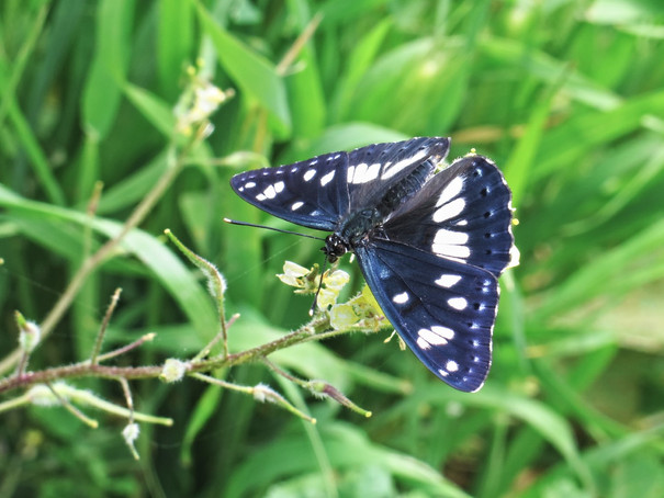limenitis - admiral butterfly