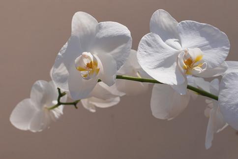 white orchid flower in the sun light
