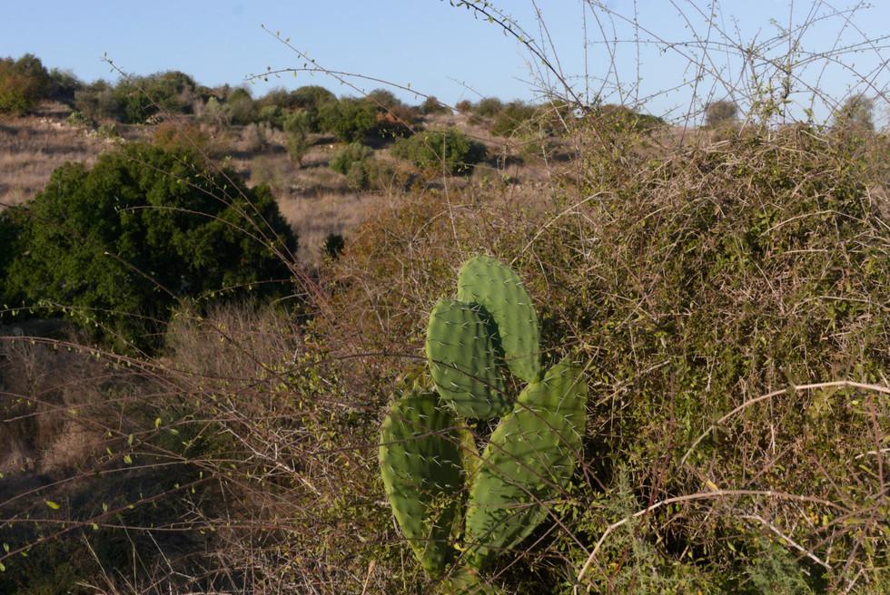 Sabres cactus plant view