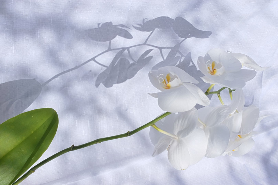 white orchid flower with its shadow