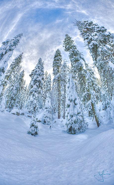Snow Pine (Sml Canvas)