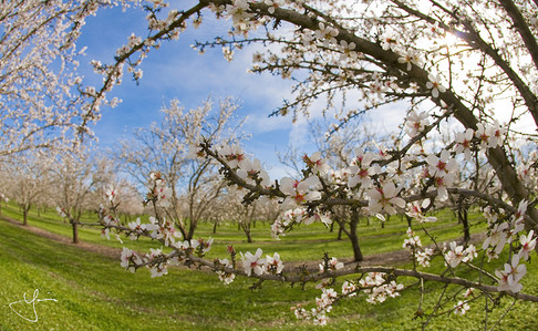 The Almond Field