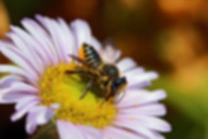 Megachile.jpg