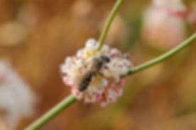 Eriogonum_Bee_3.JPG