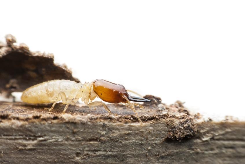 Termite_Charpente