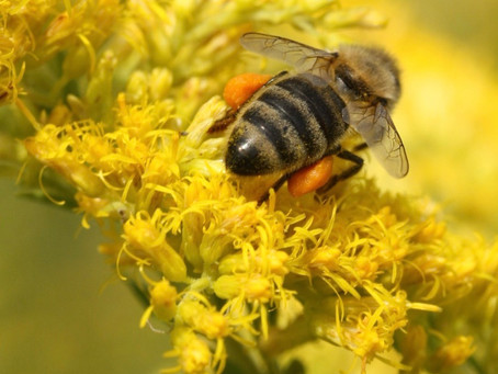 Pollen - Why it's so important to bees.