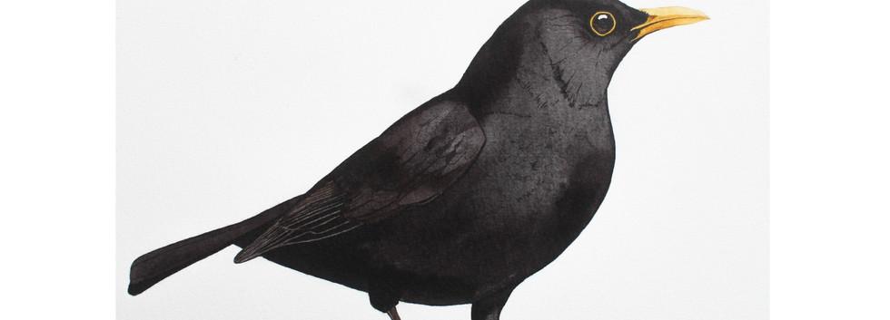 Common Blackbird .1
